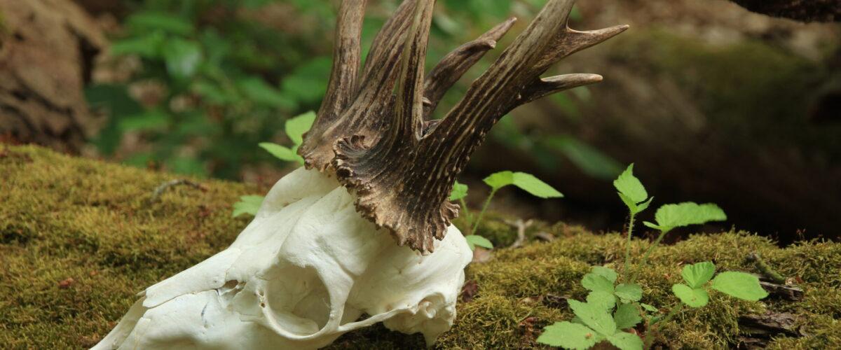 Ein-präparierter-Rehbockschädel