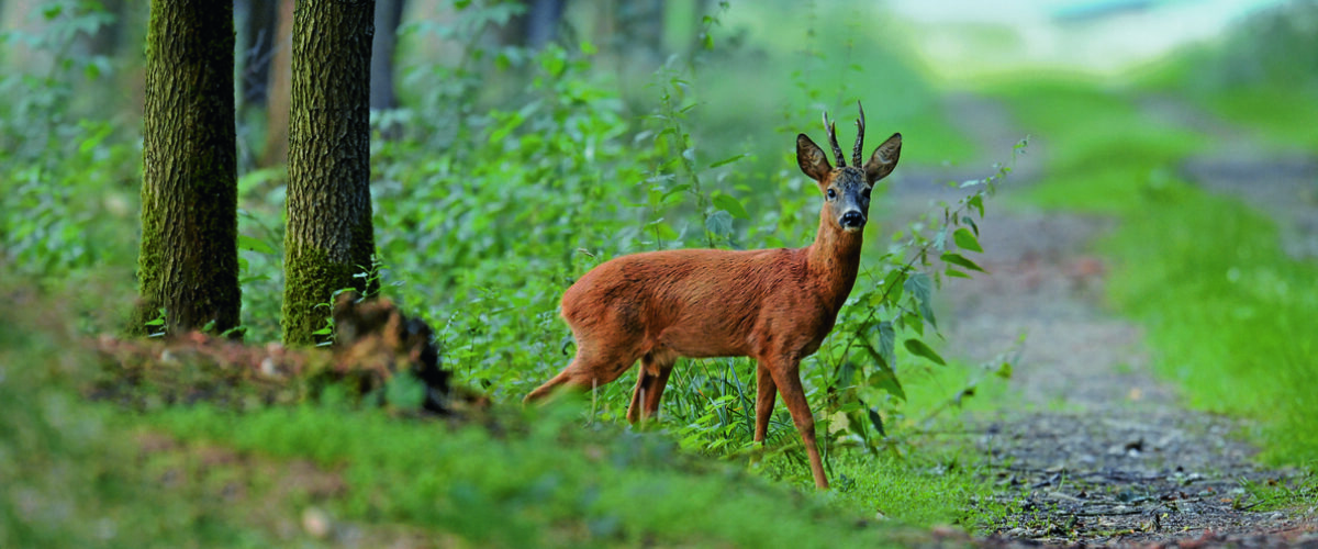 Rehbock wurde angelastet und steht auf Weg im Wald